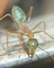 1001 vinegar tips - Green Ant