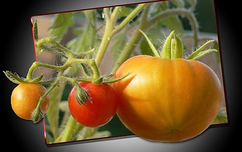 5 Tips Easy Vegetable Gardening - Tomatoes