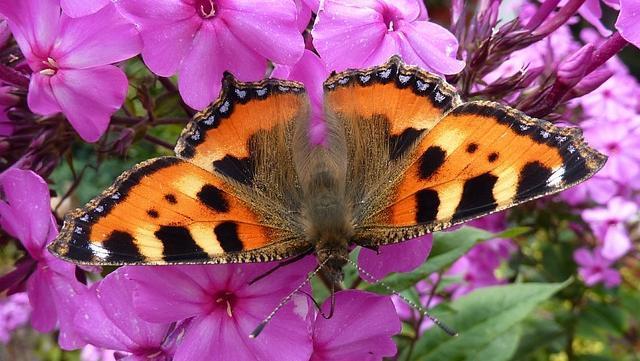 Flowers that Attract Butterflies - Little Fox