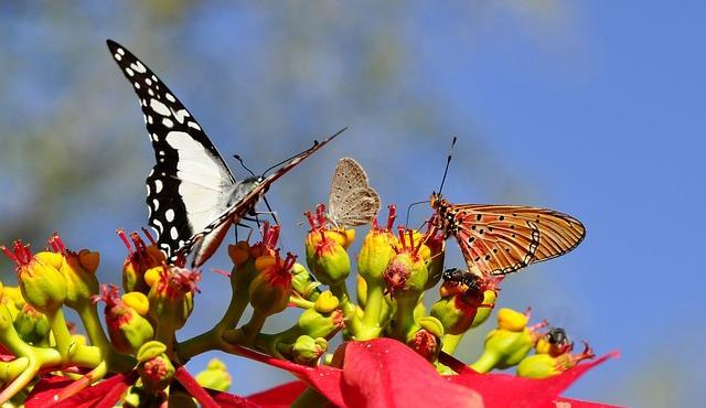Flowers that Attract Butterflies - Poinsettia