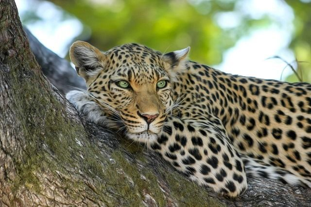 Eco Travel for More Responsible Visitors - Leopard Keeping Watch