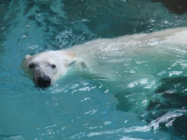 Global warming effects - Polar Bear picture