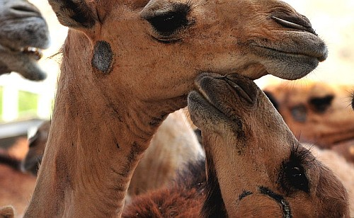 Animal friendly clothing - Camels