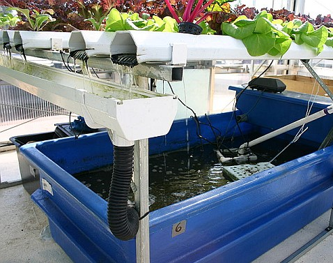 Aquaponic Gardening for Complete Beginners