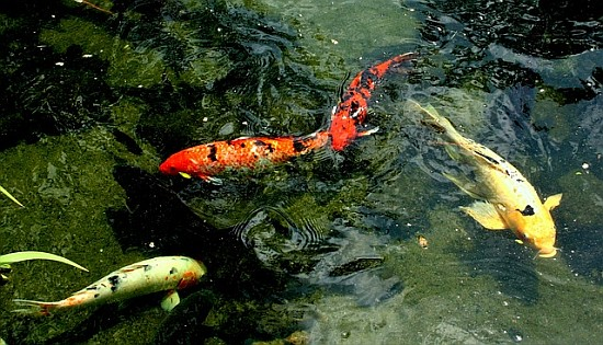 Aquaponic gardening as a business - Koi picture