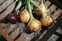 Aquaponics Systems - Onions