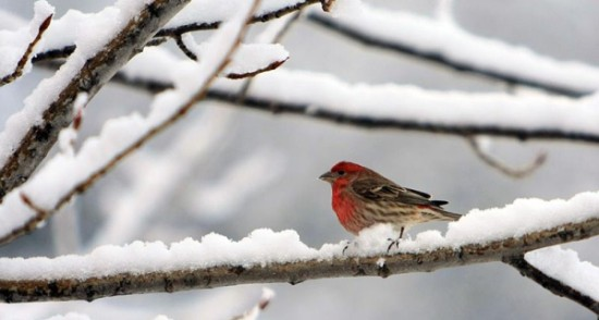 Attract Winter Wildlife to Your Garden - Finch in Snow