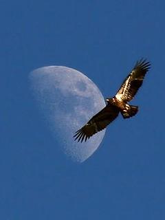 Bald Eagle Facts for Kids - Bald Eagle in Flight