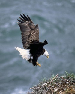 Bald Eagle Facts for Kids - Bald eagle landing