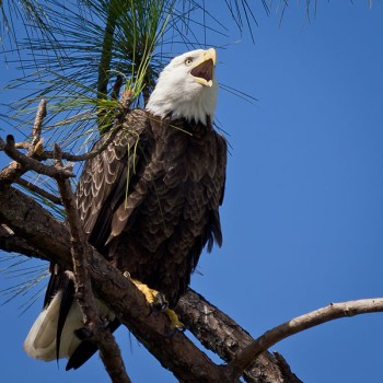 Bald Eagle Facts for Kids - Bald eagle perched in tree