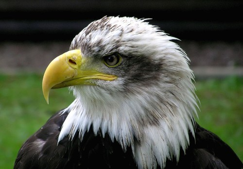 Bald Eagle Facts for Kids - Bald eagle portrait