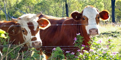 Benefits of Organic Food Part 3 - dairy cows