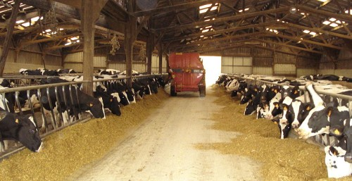 Benefits of organic food - dairy cows