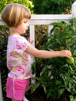 Benefits of organic food - tomatoes in containers