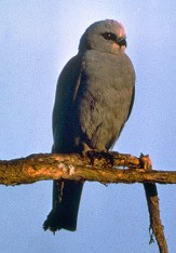 City of Pascagoula - Mississippi Kite1