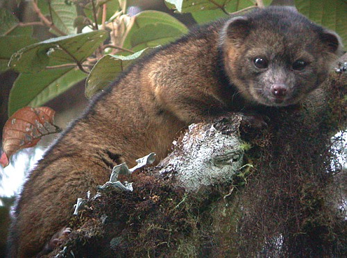 Discovery of a New Species - Olinguito