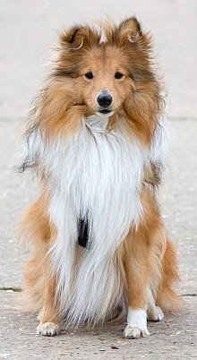 Dog biscuit recipes - shetlie