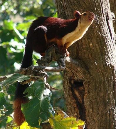 Eco tourism - Gavi Kerala - Malabar Giant Squirrel