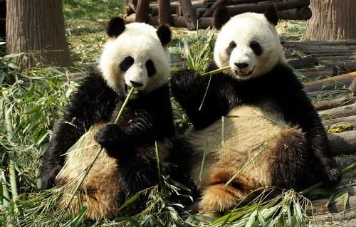 Endangered species definition - 2 Chengdu pandas eating