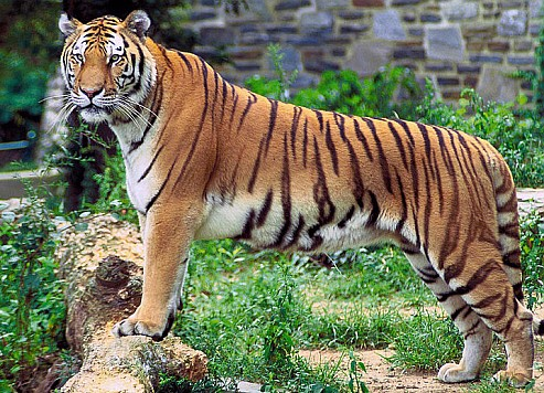 Endangered Species International Review - Panthera Tigris picture
