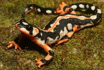 Endangered-species-2012-Luristan-newt