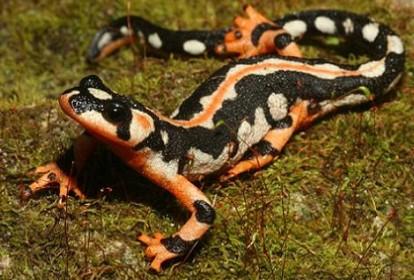 Endangered-species-2012-Luristan-newt