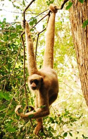 Endangered species 2012 - Wooly Spider Monkey