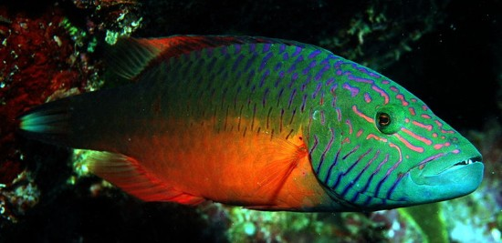 Global Warming News Article - Climate-change-driving-Australian-fish-south - Oxycheilinus digramma