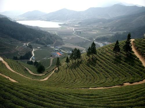 Green tea health benefits - Korea Boseong, green tea plantation