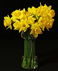 Healing Power of Flowers - Daffodils
