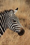 International Ecotourism Conference - zebra image