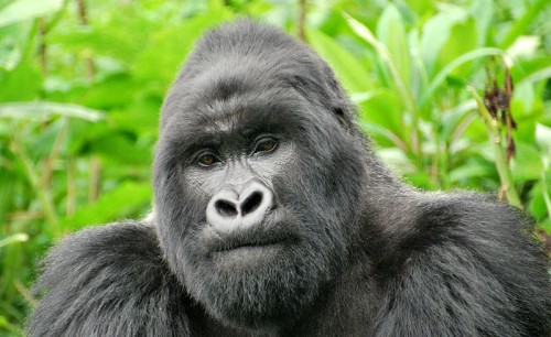Mountain gorilla facts - Guhonda, leader of the Sabyinyo group