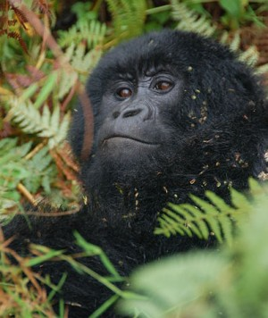 Mountain gorilla facts - Mountain Gorilla