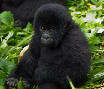 Mountain gorilla facts - Virunga Mountain Gorilla