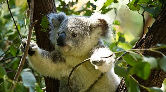 Natural remedies for fresh breath - koala in Eucalyptus tree