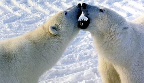 Polar bears habitat - Polar bears