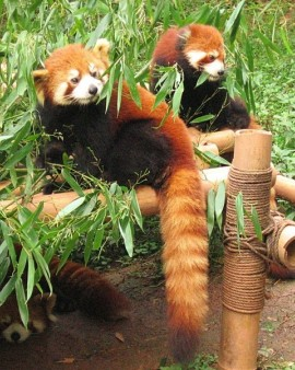Red Panda - Chengdu firefox
