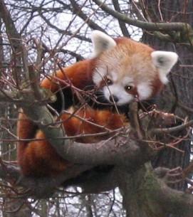 Red Panda facts - Ailurus Fulgens in tree