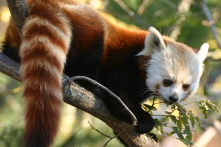Red Panda facts - Ailurus fulgens
