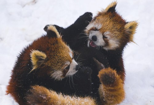 Red Panda facts - Fighting in the snow