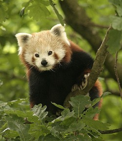 Red Panda facts - Red panda in tree