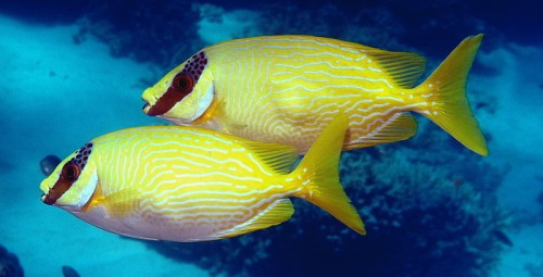 The Great Barrier Reef Facts - Siganus puellus