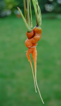 benefits of organic food - carrot