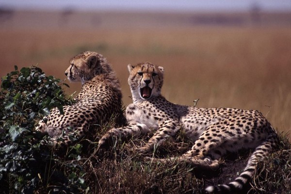 best eco holidays - Young Cheetahs Kenya