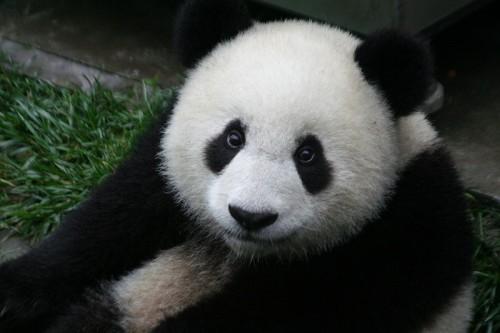 endangered species definition - endangered species giant panda