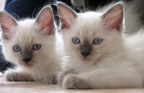 pictures of cats - Blue point ragdolls