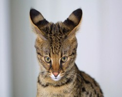 pictures of cats -Savannah Cat